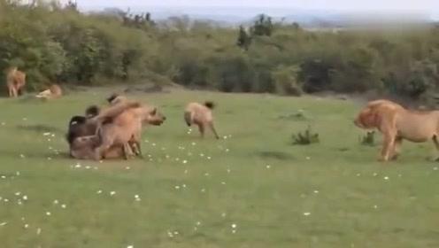 狮子大战非洲鬣狗的最全的视频,这是我见过打的最精彩的!