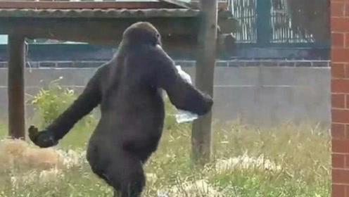 猩猩学饲养员走路,视频上传后迅速走红网络,这走姿简直帅呆了