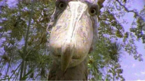 原来它才是鳄鱼的天敌,一击轻松刺穿鳄鱼,对人类却是十分友好!