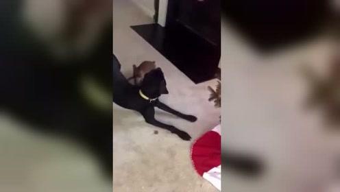 现实上演鹬蚌相争,心疼这两只狗狗