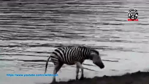 野生动物园里放镜子?摸不着头脑的动物各种爆笑反应