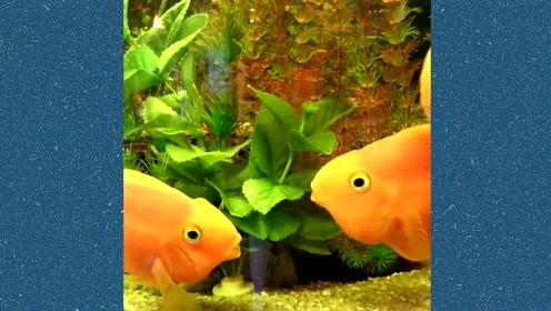 动物萌宠搞笑,鱼鱼接吻哦
