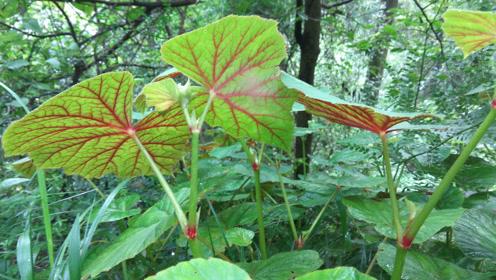 教科版一年级科学上册第1单元 植物4.这是谁的叶