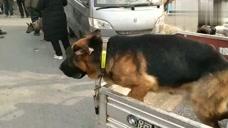 狗市上的德国牧羊犬,它看到周围狗狗较多,比较紧张而朝周围狂叫