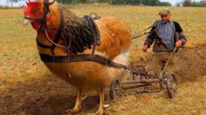 世界上最大的鸡,身高1.2米体重16斤,网友:一锅应该炖不下吧?