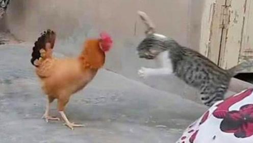 作死猫咪狂扇母鸡耳光,母鸡当场气炸毛,镜头