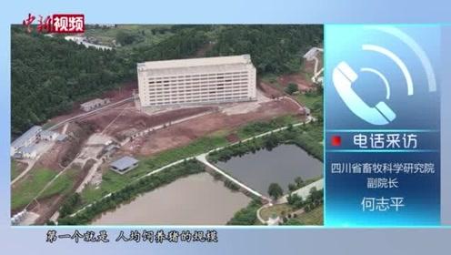 """探访四川""""养猪大楼"""":生猪规模化养殖的未来?"""