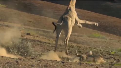 长颈鹿正喝着水,突然倒地不起,长颈鹿:腿咋
