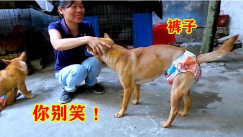 主人给狗狗穿上新裤子,狗狗一脸嫌弃,狗:你别笑