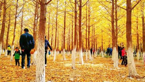 北漂一族:周末一起到公园赏银杏,树上掉下的银杏果,可以吃吗?