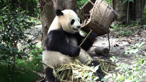 成都熊猫基地旅游攻略 庆大和庆小 联合国开发计划署形象大使