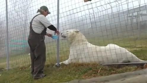 饲养员喂食白虎,这样一口一口喂,太细心了