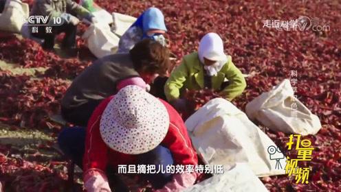 工业提取红色素,摘辣椒把成大工程,专家:不摘了