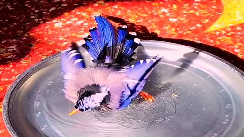 """难得一见的视频,红嘴蓝鹊洗澡犹如""""贵妃出浴""""一般,真是太漂亮了!"""