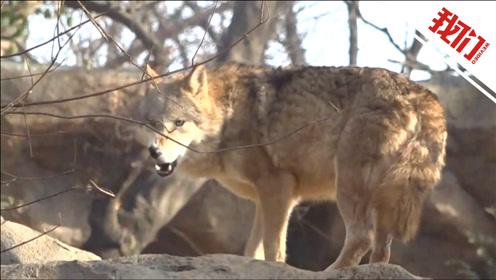 """南京网红动物园的狼群社会:为争夺""""吃货""""狼"""