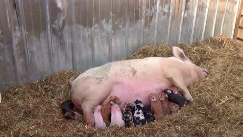 刚刚猪年,武鸣一农户家母猪产仔11只,好可爱