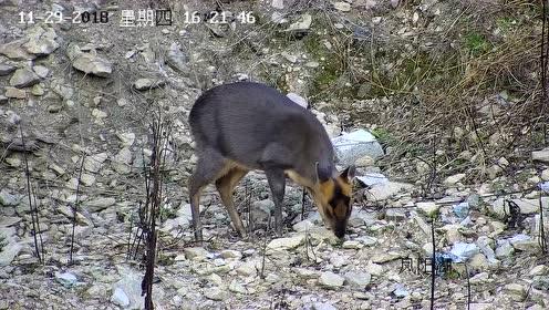 """惊!国际公认的最珍贵""""鹿类""""动物惊现丽水,你见过吗"""