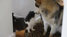 当猫咪躺在二哈的怀中时,二哈的一个反应太逗了,这是什么情况?