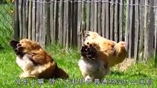 世界上最大的鸡,身高1.2米体重16斤,网友:一锅应该炖不下
