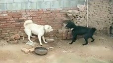 两只狗狗之间的战争,看这架势谁也不敢咬谁