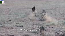 鬣狗走路分神,莫名其妙走向了狮子领地,下一秒忍住别笑