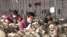 62个扶贫大棚喜获平菇20万斤,这都卖了,得卖多少人民币