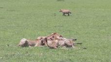 5只猎豹捕食斑马,这时4只鬣狗登场了,结局让人摸不着头脑