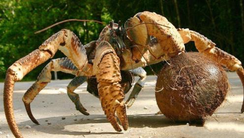 会开椰子的椰子蟹,破坏力真有点狠,轻松一招