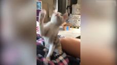 主人跟猫咪玩,没想到猫咪却直接摔下了沙发,太会玩了!