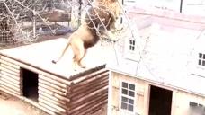 把两只小短腿萌狗放进狮子笼,看看狮子是个什