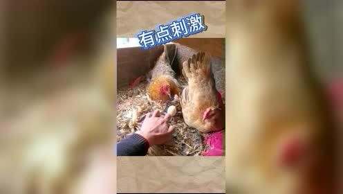 热门搞笑鸡我想吃个鸡蛋容易吗