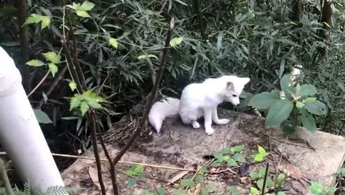 """广东千年古寺发现""""狐精"""",千真万确,视频全程记录!"""