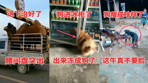 搞笑动物:这牛真不要脸,狗都瘦成这样了还抢*喝