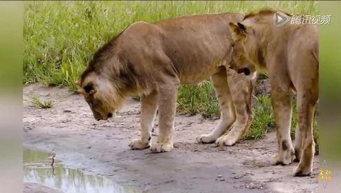 沪教版一年级语文下册29 两只小狮子