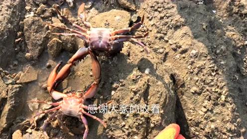 小伙赶海捉到海胆和螃蟹很开心
