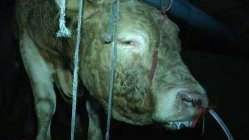 12小时大黄牛被注水120斤流泪跪地 老板:它又不疼