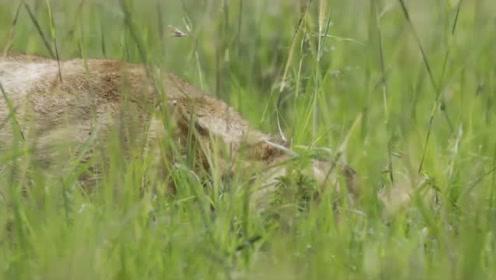 动物世界王朝:查姆必须与狮群剩下的成员待在