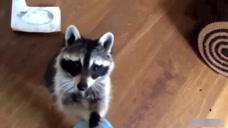 主人打喷嚏,小浣熊迅速拿来了纸巾,然后,哈哈搓着双手要小费!