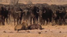 狮群捕食水牛失败,双方互相对视,水牛:你瞅啥!