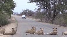 狮子悠闲的在马路上晒太阳,一辆私家车看到这场景,动都不敢动!