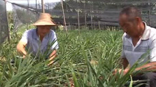 稻田喷洒除草剂时刮大风 草没除掉 隔壁生姜遭了殃
