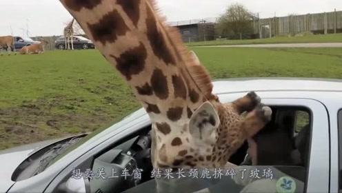 女子遇到贪吃野牛,把脑袋硬塞进车内,镜头实拍全程