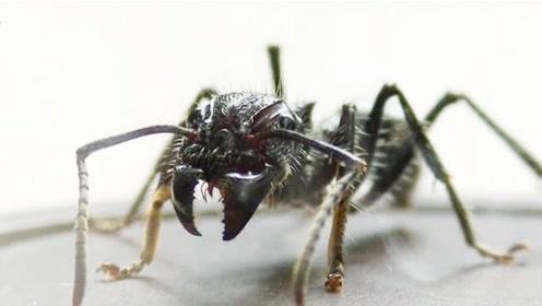 被子弹蚂蚁蛰是一种怎样的体验,小伙肉身亲自