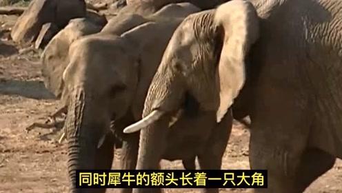 动物日记解说:犀牛误闯大象群,结果被大象追
