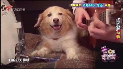 厉害!狗狗的音乐神经很发达,看看人家这扭的