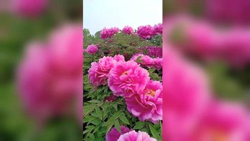 唯有牡丹真国色,花开时节动京城!洛阳牡丹果然名不虚传!