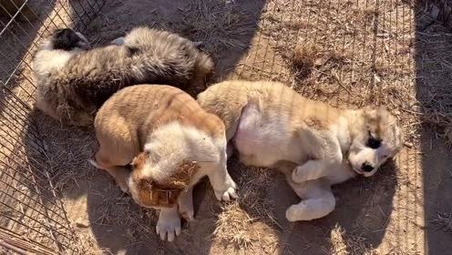 狗市遇到美女卖狗,这品相,这性格,非常不错,美女卖800贵嘛?