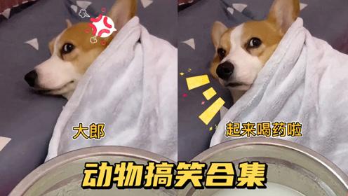 动物搞笑集锦:大郎,起床喝药了!