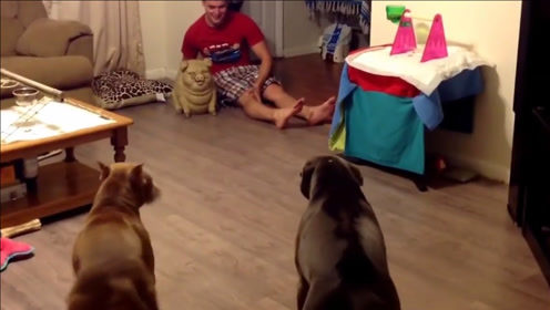 主人买回一只玩具猪,家里的狗狗来脾气了,镜