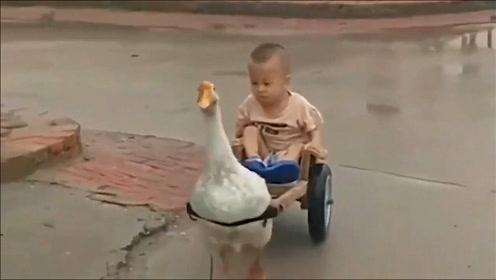 打遍全村无敌手的大鹅,竟然栽在熊孩子手里,